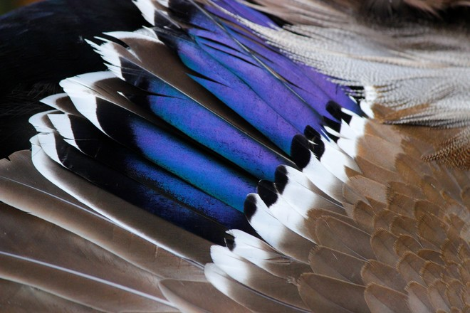 Iridescent speculum feathers Richmond Hill, ON