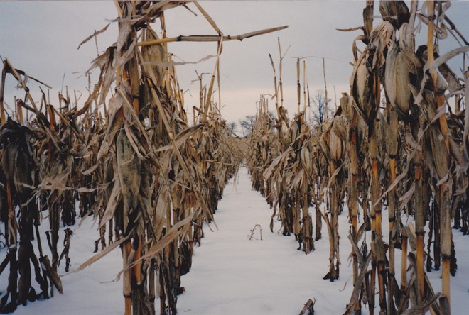 the corn is cold here not hot Englehart, ON