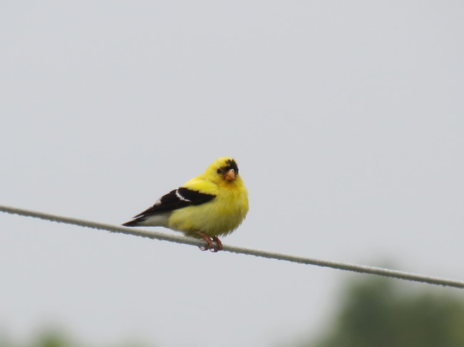 American Goldfinch Lindsay, ON