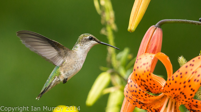 Hummingbird Season! Wallace River, NS
