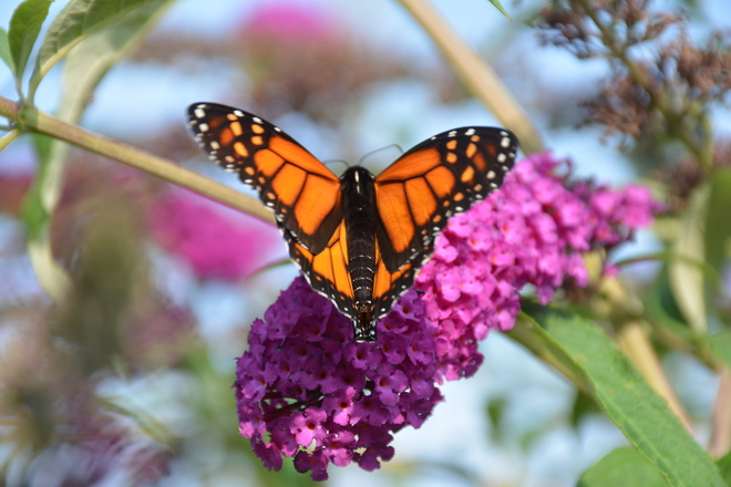 Monarch Butterfly! St. Catharines, ON