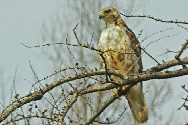 Immature Red-tailed Hawk?? Kitchener, ON