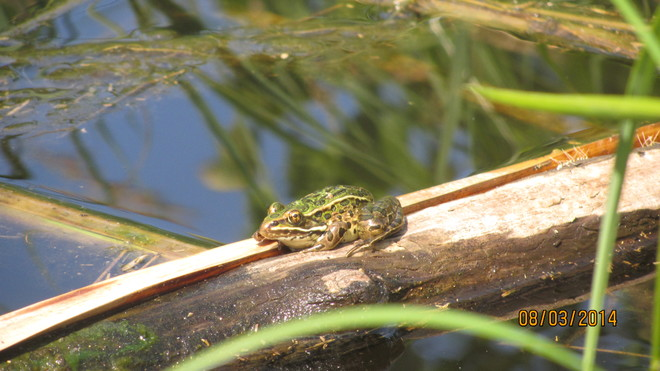 Frog On A Log Sioux Narrows, ON