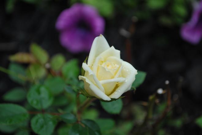 Bloom after the rain... Oshawa, ON