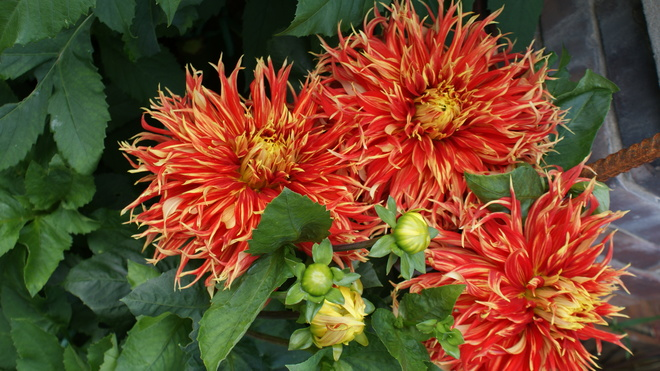 My Current Favorite Giant Dahlia Owen Sound, ON