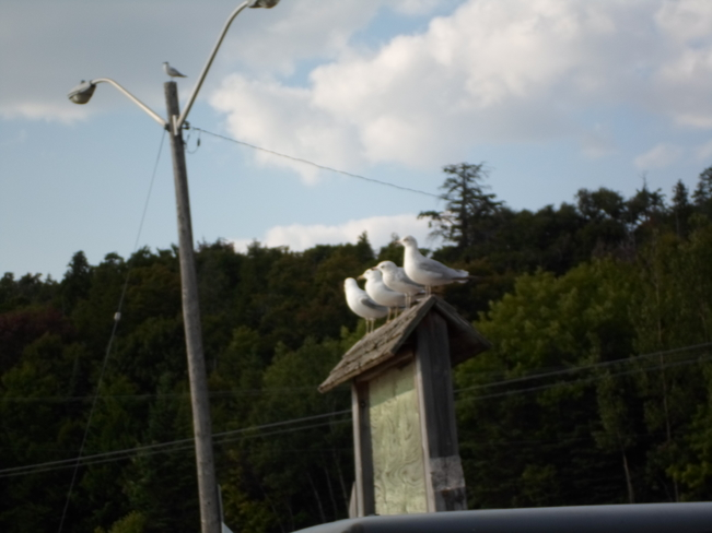 FOUR SEA GULLS/in a ROW/Sitting on small roof/E.L, Elliot Lake, Ontario Canada