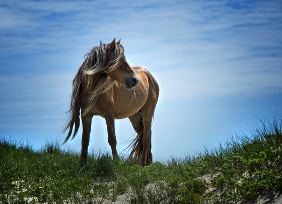 Wild horse of Sable Island