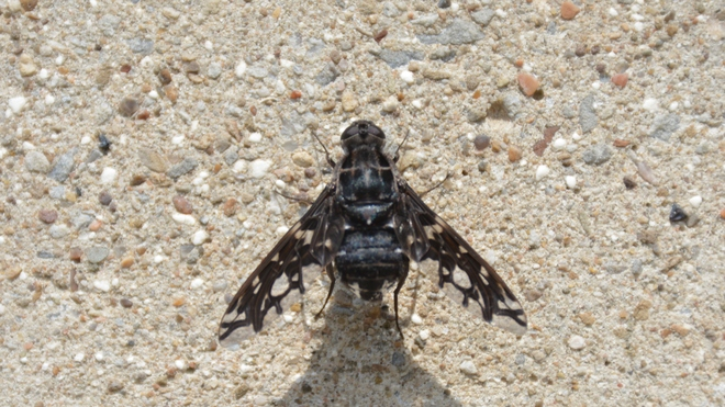The Tiger Bee Fly! St. Catharines, ON
