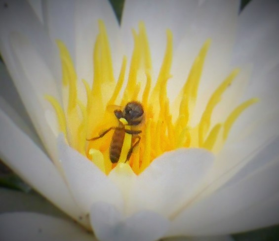The bee and the lily Vancouver, BC