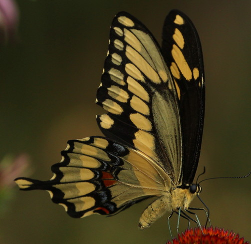 Canadian Tiger Swallowtail Greater Napanee, ON
