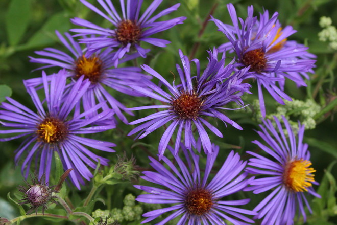 Fall Asters Greater Napanee, ON