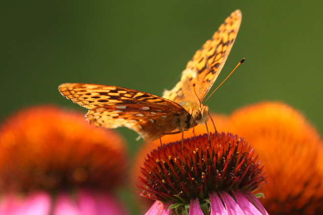 Great Speckled Fritillary Butterfly Greater Napanee, ON