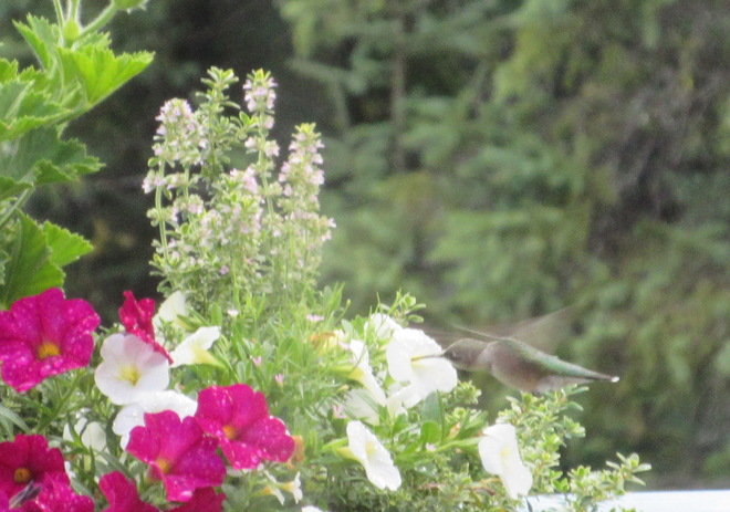 Hummingbird, wings and all, on my deck Lively, Greater Sudbury, ON