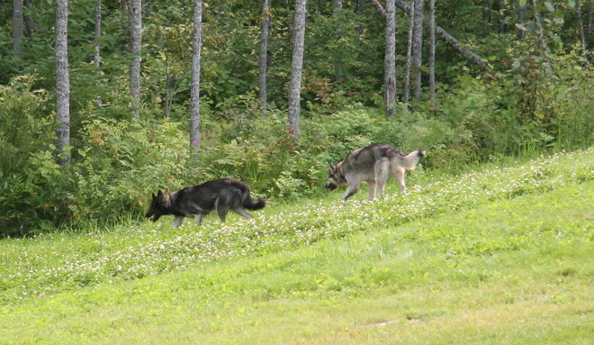 2 northern wolves Timmins, ON