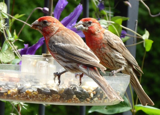 Uncommon House Finch Ingersoll, ON