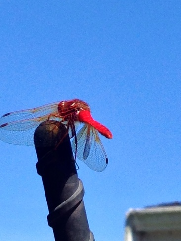 red dragon fly!! Sidney, British Columbia Canada