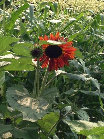 Sunflower Schomberg, Ontario Canada