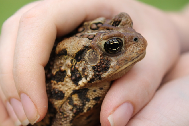 Toad Buddy' Aylmer, ON