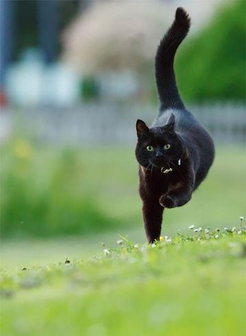 black cat running freely with red coller Abbeydale, Calgary, AB