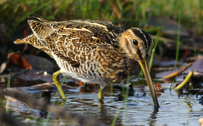 Wilson's Snipe Fergus, ON