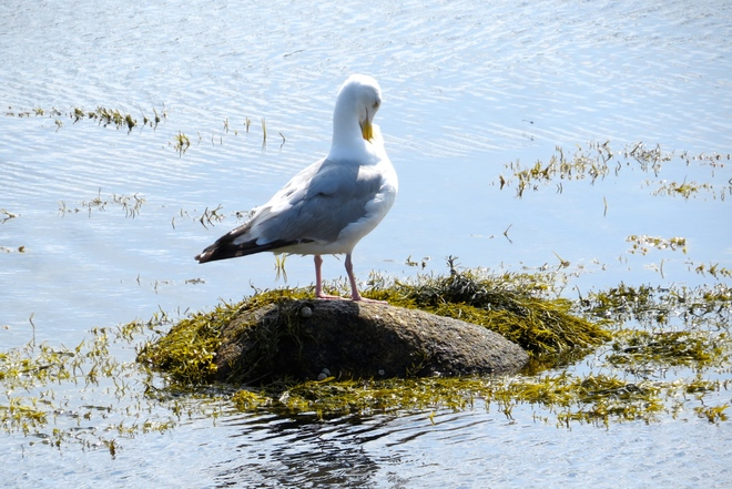 Modest Herring Gull In Mahone Bay, NS Mahone Bay, NS
