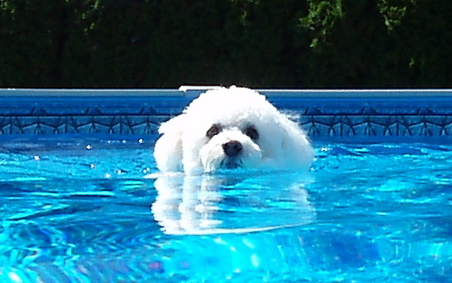 Bailey the Bichon swimming in the pool Hope BC Canada, Hope, BC
