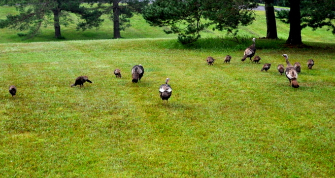 Wild Turkeys! Beeton, New Tecumseth, ON