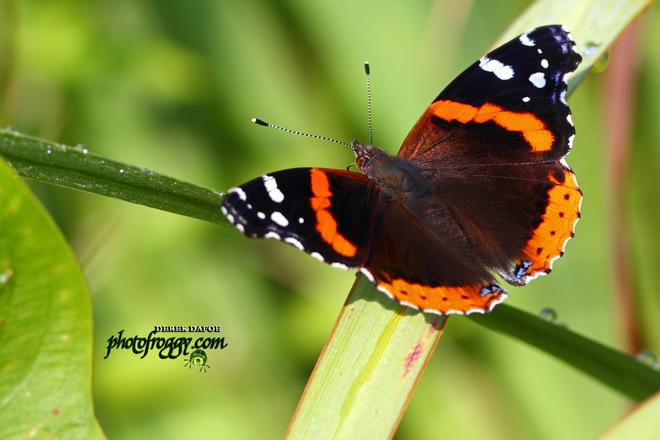 Red Admiral Butterfly Belleville, ON