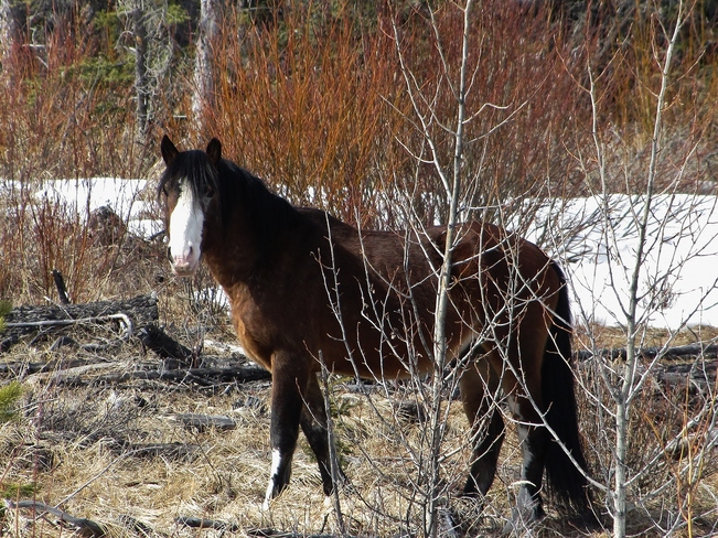 Alberta's Wild Horses Clearwater County, AB T0M, Canada