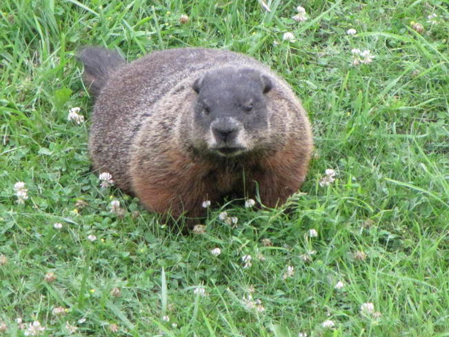 Groundhog out enjoying a grass snack, Fort York, Toronto, Ontario Fort York, Toronto, ON
