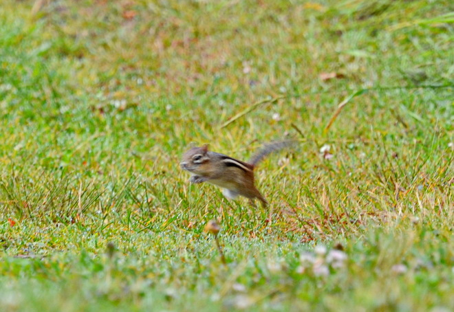 Chipmunk does mid air jump Lively, Greater Sudbury, ON