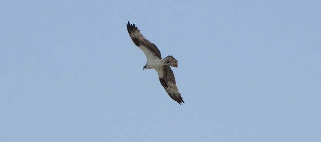 Osprey out in Breslau 1 Victoria Street North, Kitchener, ON, Canada
