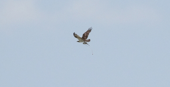 Osprey out in Breslau 2 Victoria Street North, Kitchener, ON, Canada