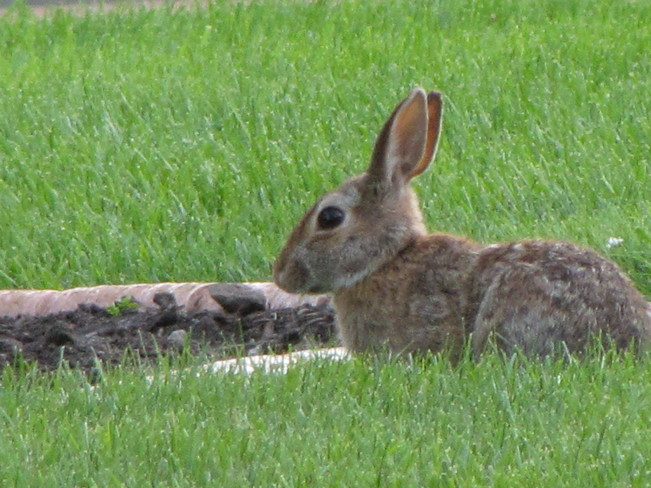 Rabbit in my yard, he is so frendly 305-367 Northumberland County Road 2, Brighton, ON K0K, Canada