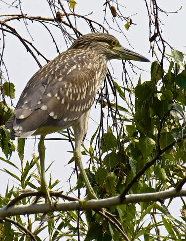 Resting heron Pickering, ON