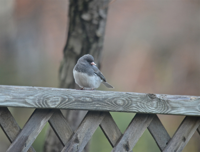 Junco Oakville, ON