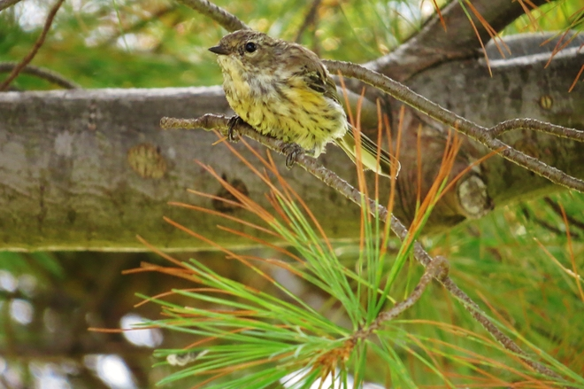 Possible juvenile Cape May Warbler? Memorial Drive, North Bay, ON, Canada