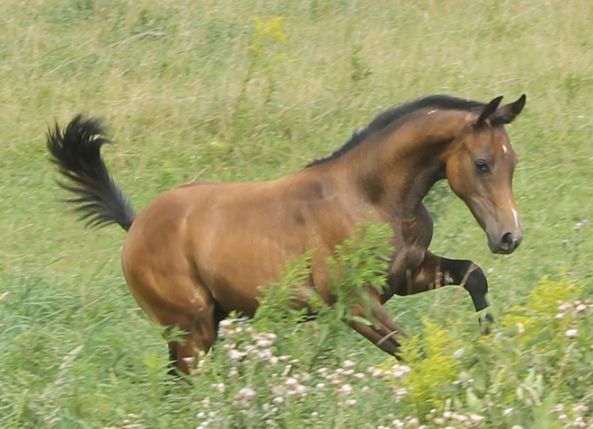 Trent - Polish Arab Colt - 4 1/2 Months old Port Perry, ON
