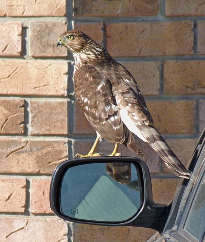Young Hawk Milton, ON