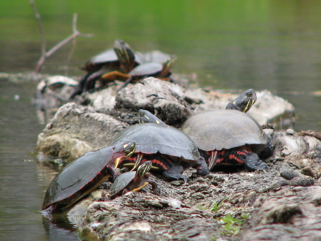Turtles Pog Lake, Algonquin Provincial Park, Nipissing, Unorganized, South Part, ON