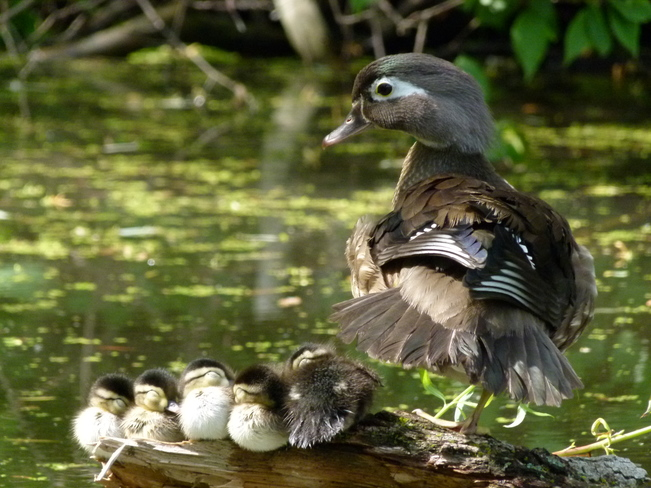 Female Wood Duck with her resting Baby Wood Ducks Etobicoke, Toronto, ON