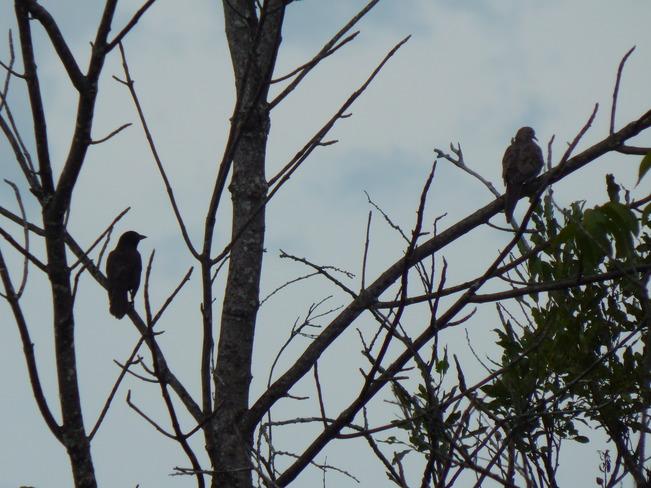 Birds in Nature Maltais, NB