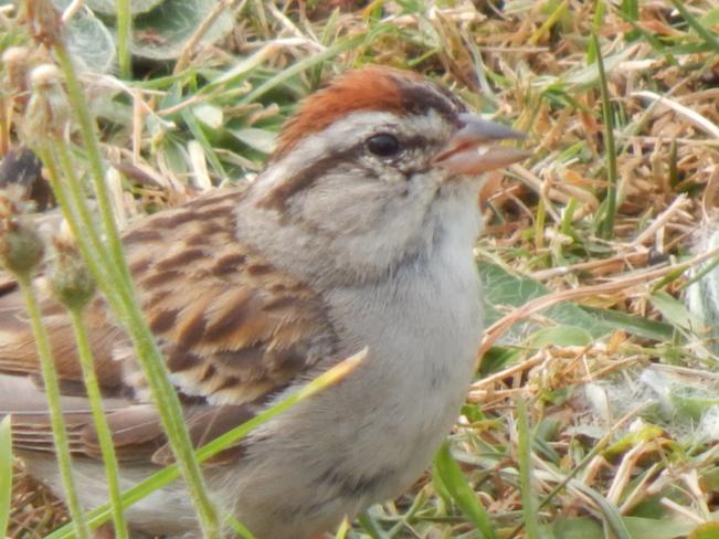 little brown finch Maltais, NB