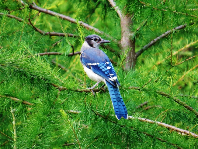 Young Blue Jay's on guard for danger! North Bay, ON, Canada