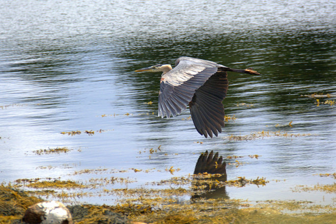 Great Blue Heron Collecting It's Young One East Chester, NS