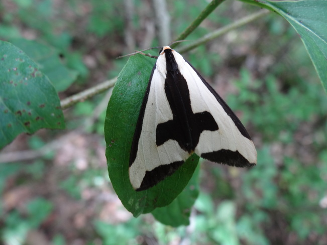 Moth in rare Charitable Research Reserve. Cambridge, ON