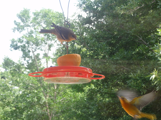 Baby Orioles at the Feeder Branchton, ON
