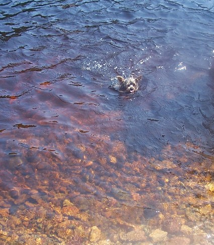 My yorkie going for a swim at Simm's Brook Pool's Cove, NL