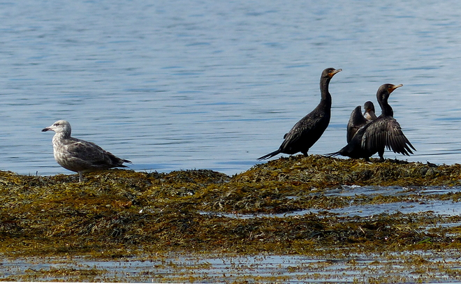 Seagulls and cormorants 1345-2079 Sandy Point Road, Shelburne, NS B0T 1W0, Canada