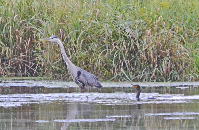 Blue Heron & Cormorant fishing together Lively, Greater Sudbury, ON